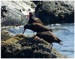Adult BLOY (solid bright red bill) presenting a limpet to two BLOY chicks (bi-colored black and red bills). These chicks have fledged from the nest site and are nearly the size of their parents but are still dependent on them for much of their food.