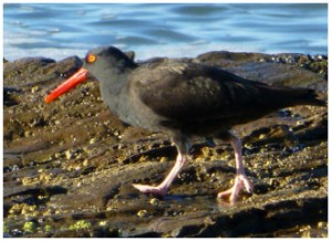 Adult BLOY with solid red bill and bright yellow eye with a surrounding ring of red skin
