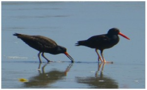 BLOY chic (on left) and Adult BLOY (on right) foraging on the beach.