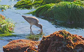 Fourth Place:  Foster Eubank - Western Willet Foraging at Low Tide in the Surfgrass