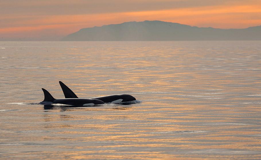 First Place: Cliff Wassmann - Orcas at Sunset