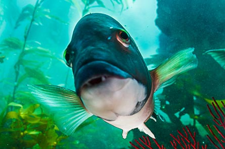 Second-Place: Tim Williams - Curious Male Sheephead